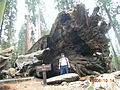 Fallen Tunnel Tree, aka Wawona Tree.JPG