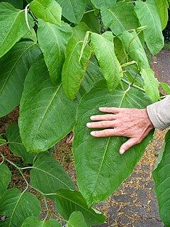 240px fallopia sachalinensis 00707