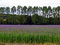 Farmland, Crop in bloom - geograph.org.uk - 11687.jpg
