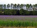 Farmland, Crop in bloom - geograph.org.uk - 11687.jpg