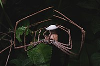 A female Deinopis spider making its egg coccon