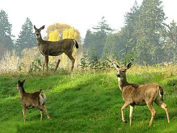 Female Blacktail Deer