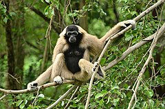 Female crowned gibbon on the tree.jpg