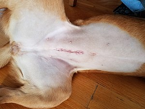 Neutering - Incision scar from a spay on a female dog, taken 24 hours after surgery.