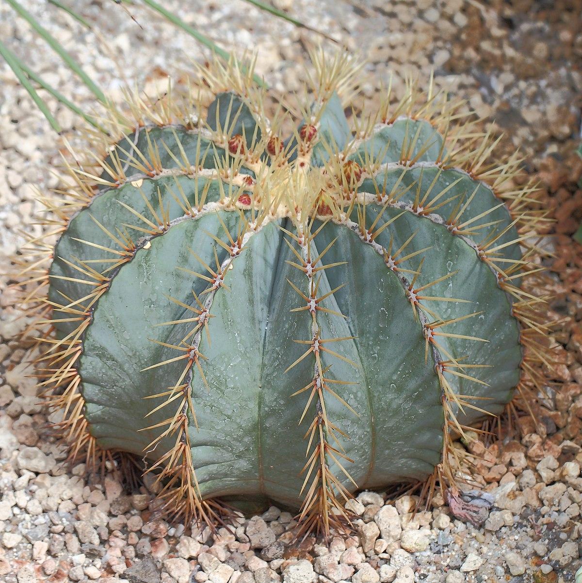 Ferocactus glaucescens, Jardín Botánico, Múnich, Alemania 2012-04-21, DD 01.JPG