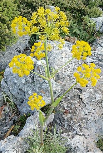 Silphium - Ferula tingitana
