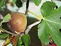 Ficus carica bonsai A D150915 fig.jpg