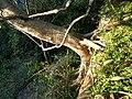 Ficus craterostoma, stam en wortels, Krantzkloof NR.jpg
