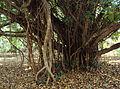Ficus microcarpa Green Island.jpg