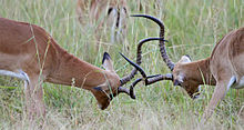 Males lock horns in a mating fight