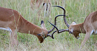 Impala - Two males fighting for dominance