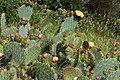 Figuiers de Babarie-Ountia ficus-indica-Calvisson-20130631.jpg