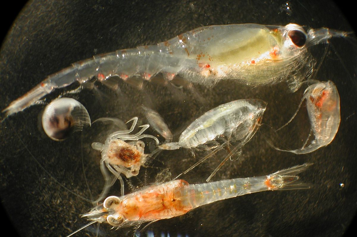 Zooplankton - Wikipedia