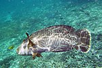 Fish 8a (22818585398).jpg