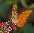 Flame Butterfly 4 (4866647703).jpg