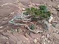Flora en punta rotja.jpg