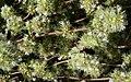 Flores de tomillo blanco (Thymus mastichina) con visitante (43808347242).jpg