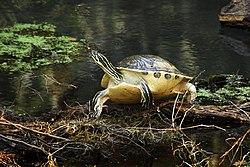 Florida Cooter turtle at Gemini Springs - Flickr - Andrea Westmoreland.jpg