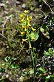 Flower 3 @ Langtang National Park.jpg