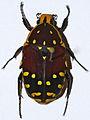 Flower Beetle (Euchroea histrionica) (8561518677).jpg