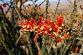 Flower in Lake Mead National Park (3467670971).jpg
