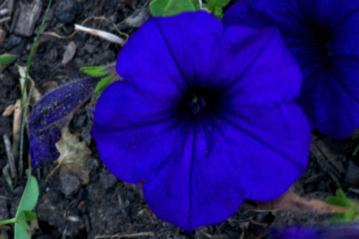 Blue flowers images animaxwallpaper blue flower wikipedia izmirmasajfo