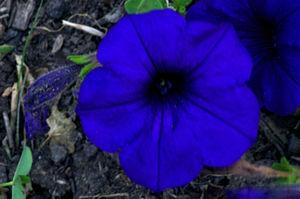 Blue flower - A deep blue flower approaches the otherworldliness of the motif.