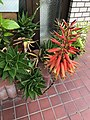 Flowers of Aloe 20200704.jpg