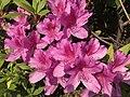 Flowers of Azalea 20190416.jpg