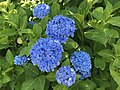 Flowers of Hydrangea macrophylla 20180602-2.jpg