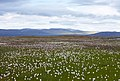 Flowers on the Hardangervidda plateau - Norway - panoramio.jpg