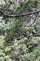 Fokienia hodginsii - Mount Sanqing 2015.09.08 11-09-42.jpg