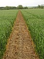 Footpath through growing wheat, Murcott - geograph.org.uk - 179266.jpg