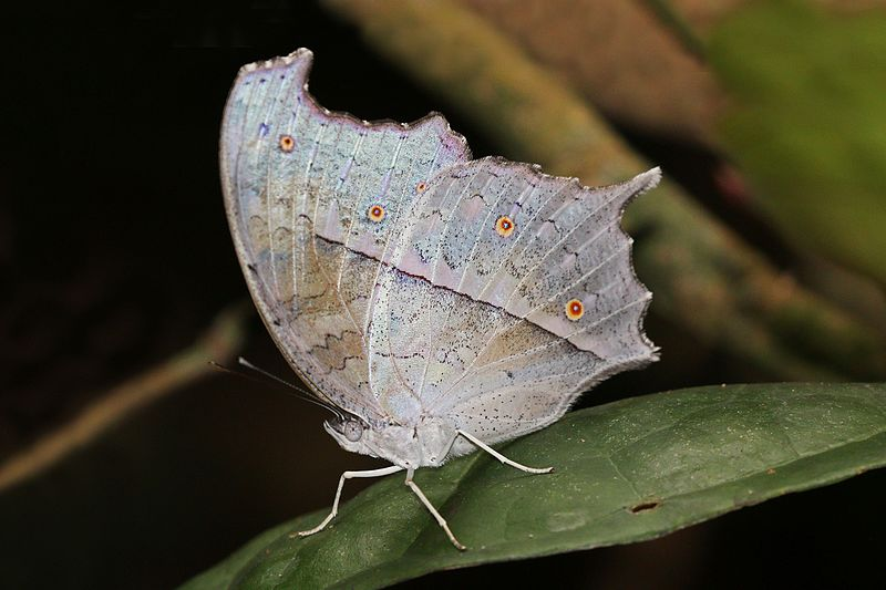 Bộ sưu tập cánh vẩy 6 - Page 19 800px-Forest_mother-of-pearl_%28Protogoniomorpha_parhassus_parhassus%29_underside
