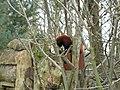 Fota Wildlife Park - Red Panda - panoramio.jpg