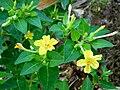 Four o'clock (Mirabilis jalapa) yellow-flowered.jpg