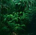 Frame 12 Ferns in Rain Forest.jpg
