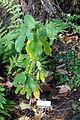 Frangula purshiana (Rhamnus purshiana) - Dunsmuir Botanical Gardens - DSC02925.JPG