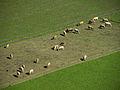 Frauenburg - Kühe in Frauenburg II.jpg