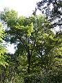 Freixe americà de l'antic jardí botànic P1250805.jpg