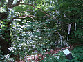 Frilandsmus-kludetræet.jpg