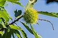 Fruit of Castanea sativa 02.jpg