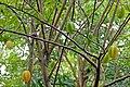 Fruits du carambolier (An Binh, Vietnam) (6680675551).jpg