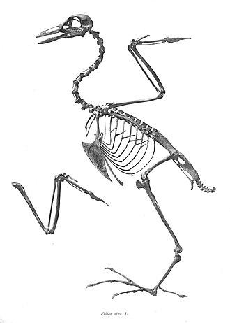 Eurasian coot - Skeleton