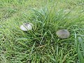 Funghi nel prato.... - panoramio.jpg