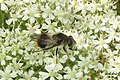 Furry hoverfly (SuGr) (15142770801).jpg