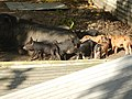 Futuna élevage de cochons.jpg