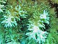 Galaxea horrescens, coralitos.jpg