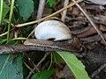 Garden Snail (Chloraea stenopsis) at Simhachalam hills.JPG