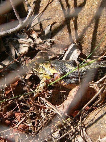 File:Garter snake swallowing a large frog in Georgian Bay.jpg